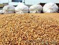Организация на постоянной основе закупает зерно. опт