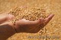 Организация купит зерно фуражное.