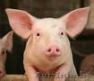 Свинина живым весом.