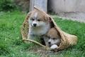 Шикарные щенки Акита-ину