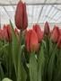 Живые цветы недорого оптом к Международному Женскому празднику