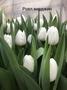 Тюльпан Роял Вирджин белый цвет